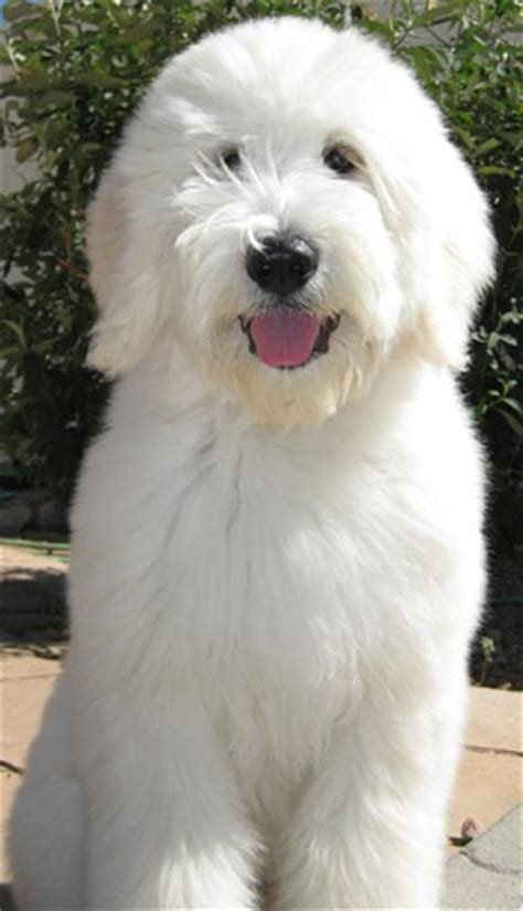"""Puppies for sale - Goldendoodle, English """"Teddy Bear"""
