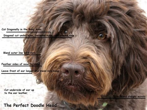 how to groom a labradoodle face - Google Search