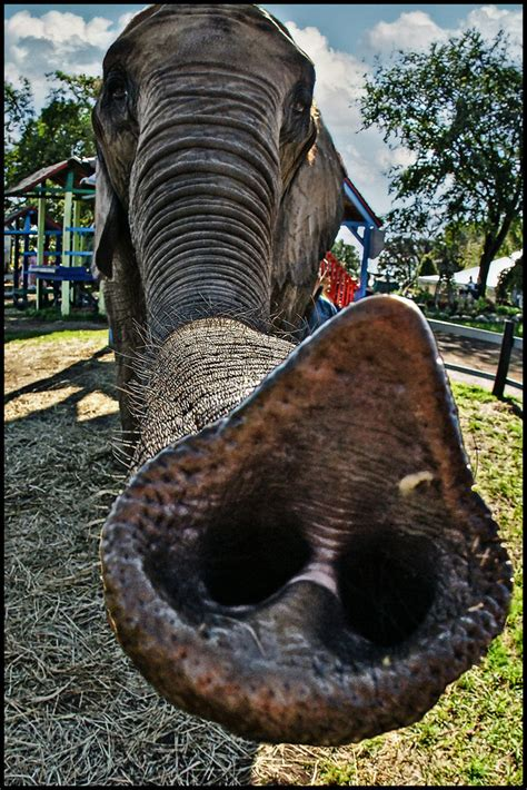 elephant trunk | This is a true story: I'm walking around