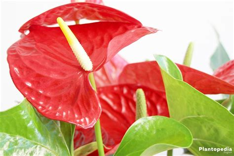 Anthurium plant care, tailflower, flamingo flower and