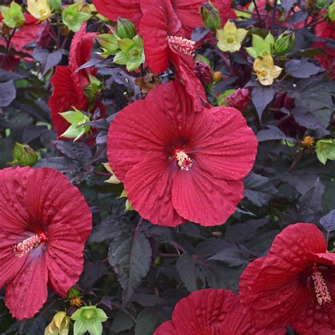 Hardy Hibiscus moscheutos Holy Grail for Sale   Rare Roots
