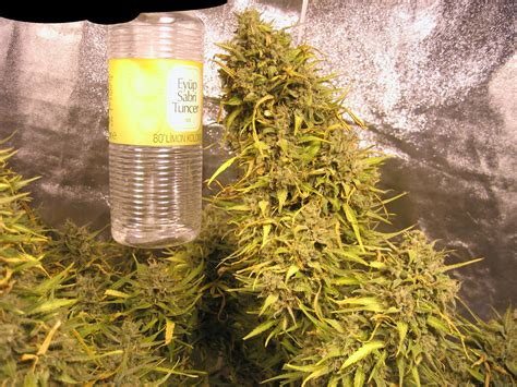 Strain-Gallery: Think Different (Dutch Passion) PIC