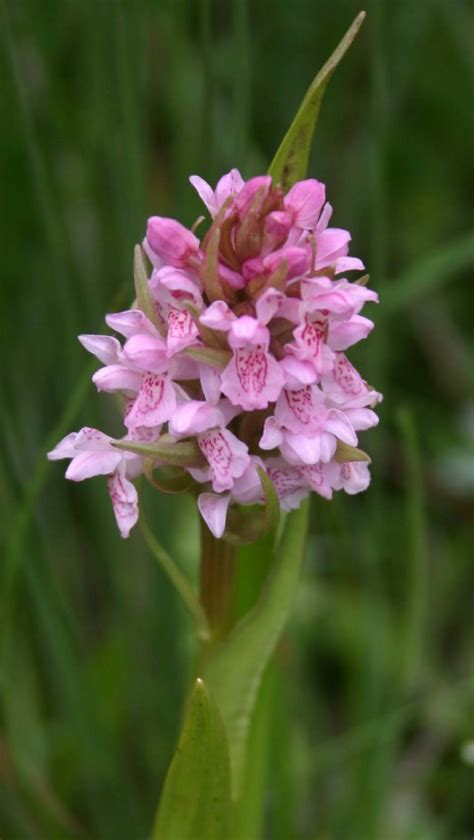 Early Marsh-orchid | NatureSpot